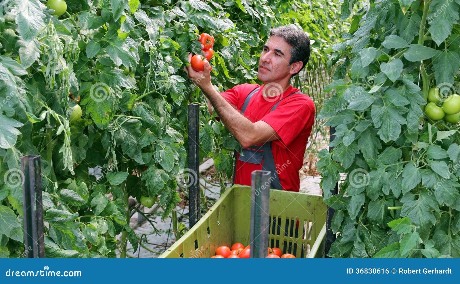 Średniorolni zrywanie pomidory