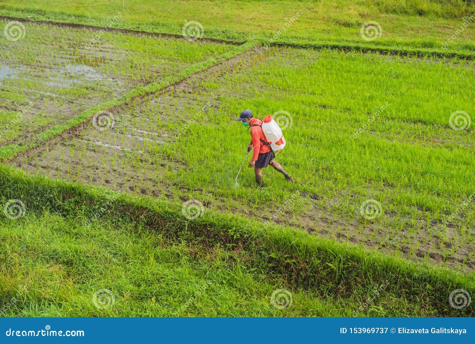 Średniorolny opryskiwanie pestycyd ryż flit natryskownicą z właściwą ochroną w irlandczyka polu