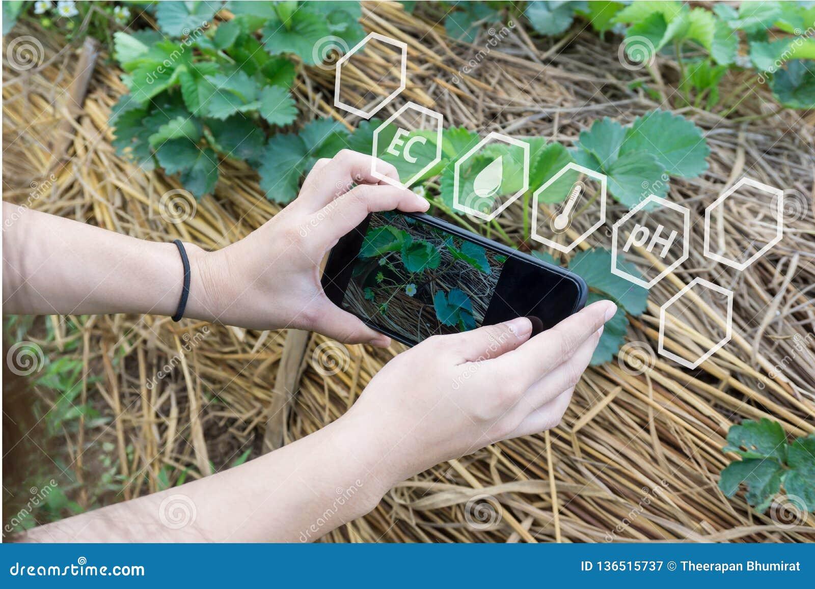 Średniorolny używa smartphone sprawdza temperaturę, wilgotność, glebowy pH na z cyfrowym holograficznym ekranem w truskawki plant
