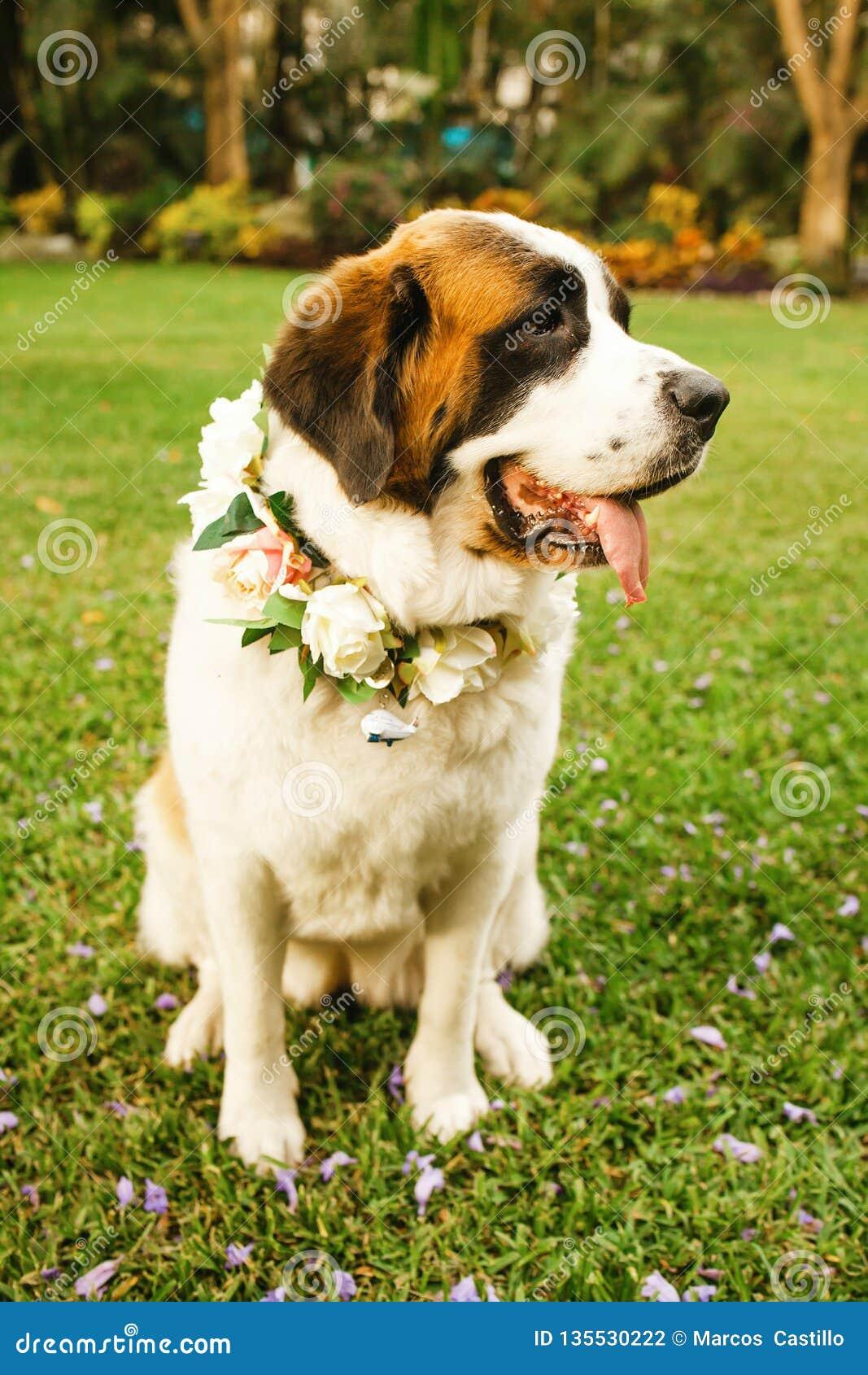 Świątobliwy bernarda pies gotowy dla ślubnej ceremonii