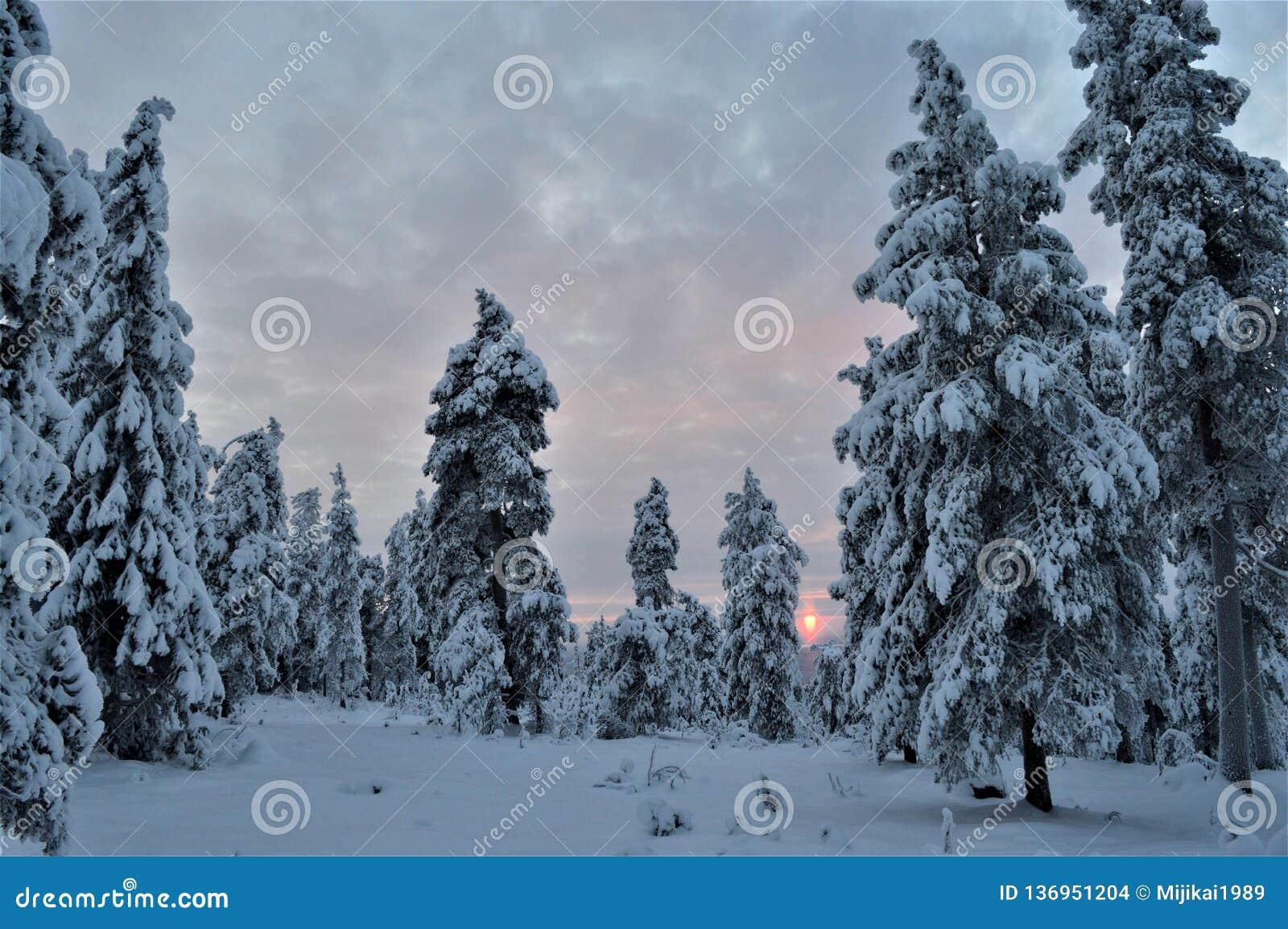 Święta tła blisko czerwony czasu Cichy, zimny i pokojowy las w Północnym Finlandia, Surowość las, śnieżyści drzewa i zimny słońce