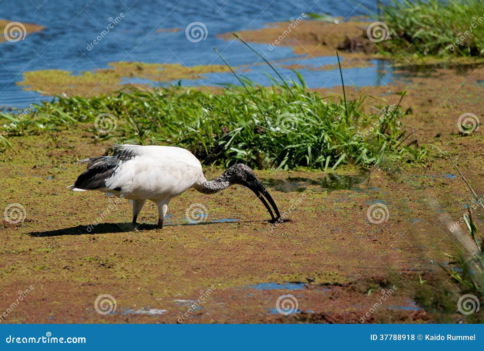 Świętego ibisa karmienie