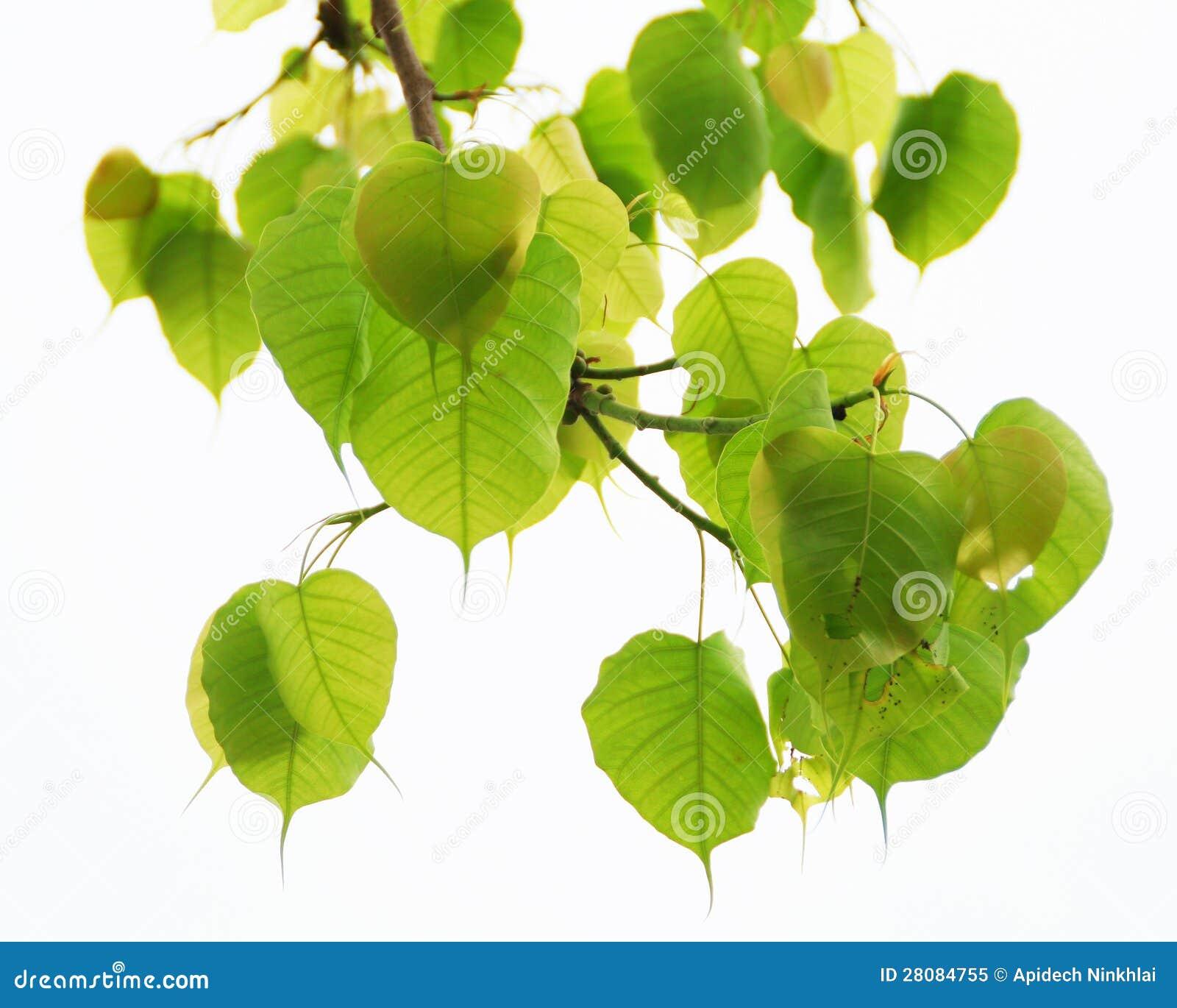 Świętej figi liście