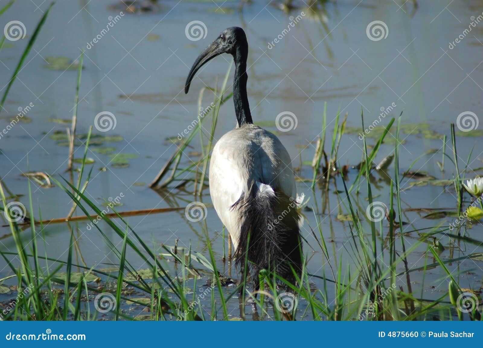 święty ibis