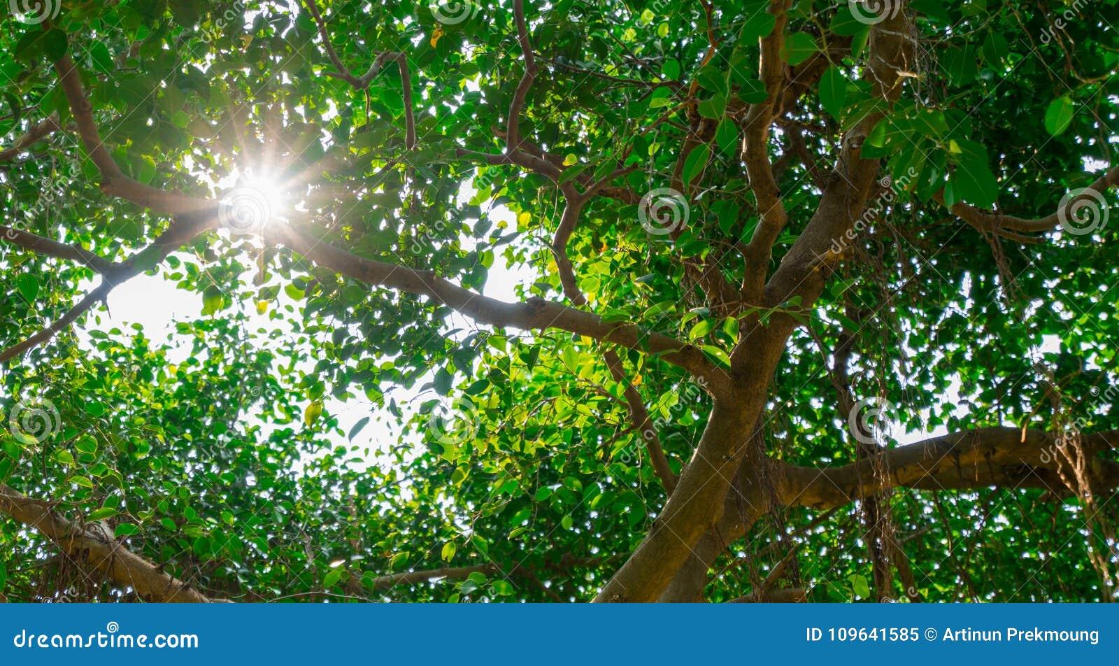Światło słoneczne błyszczy przez zielonych liści banyan drzewo