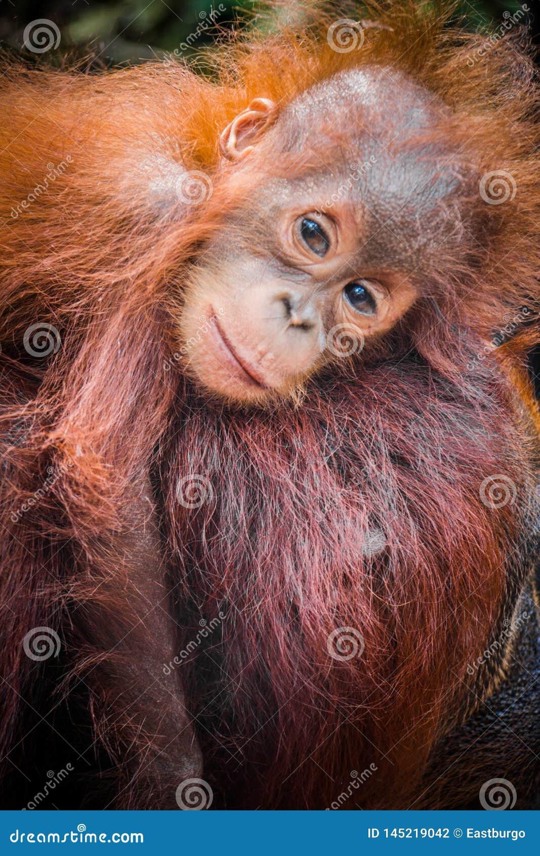 Światu dziecka śliczny orangutan snuggles z mamą w Borneo