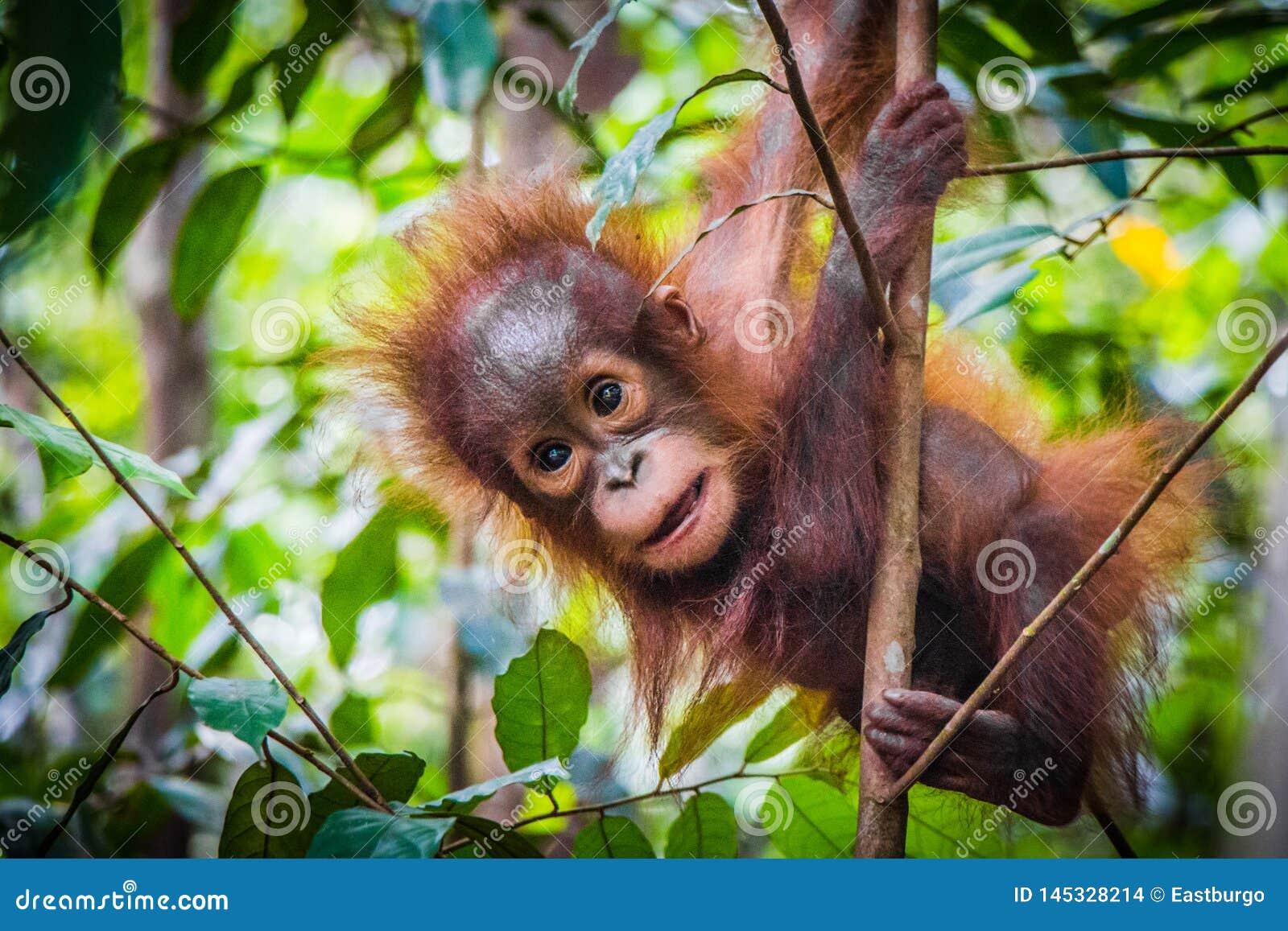 Światu dziecka śliczny orangutan wiesza w drzewie w Borneo