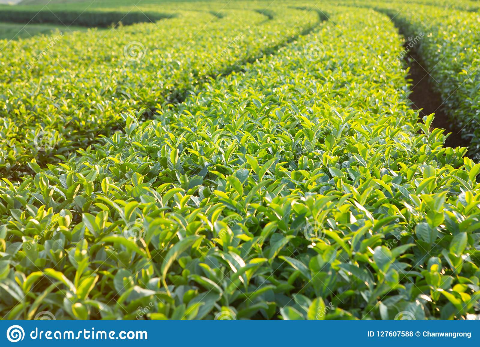 Świeża herbaciana roślina w gospodarstwie rolnym