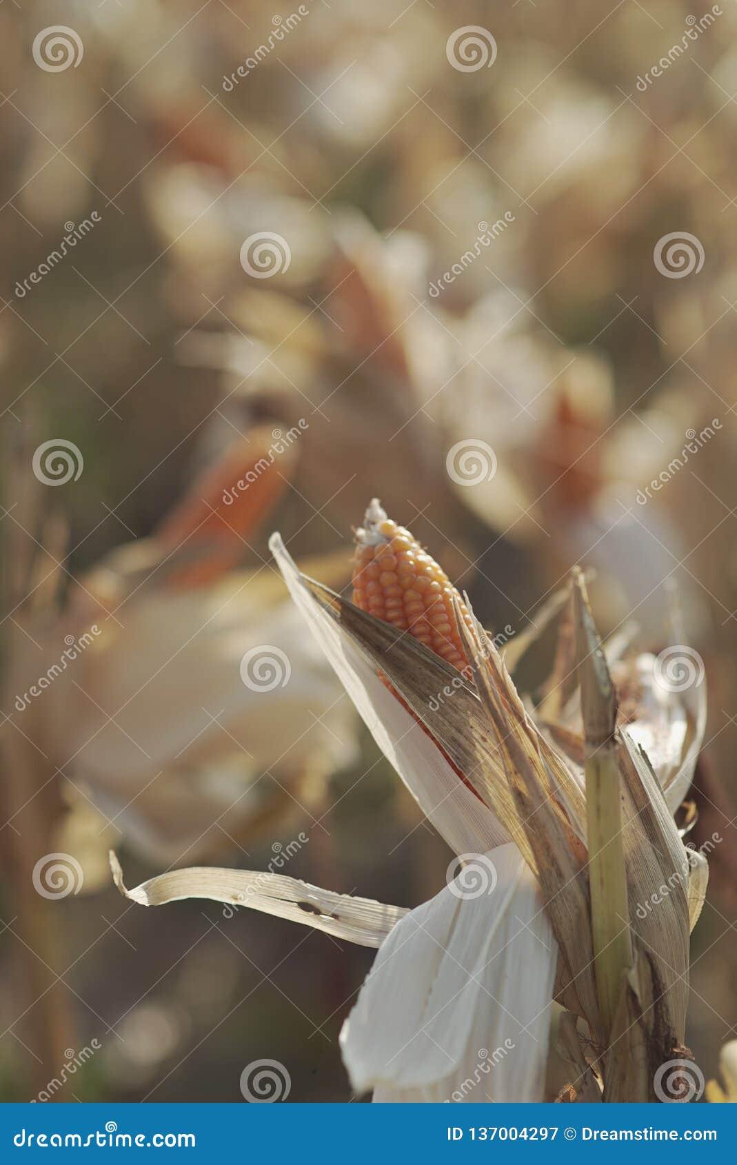 Świeża kukurudza na polach