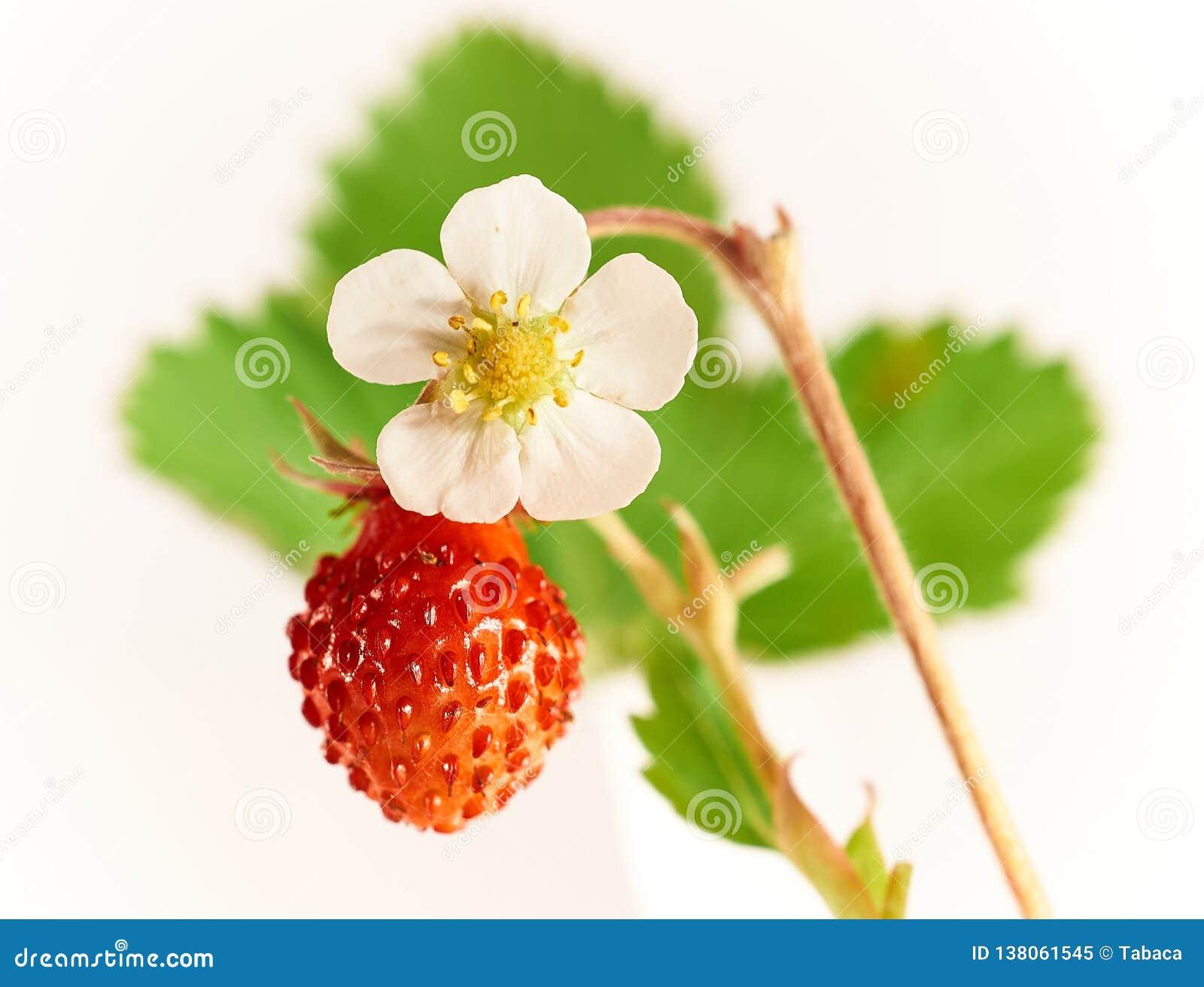 Świeża owoc i kwiat dzikie truskawki na zielonym liścia tle