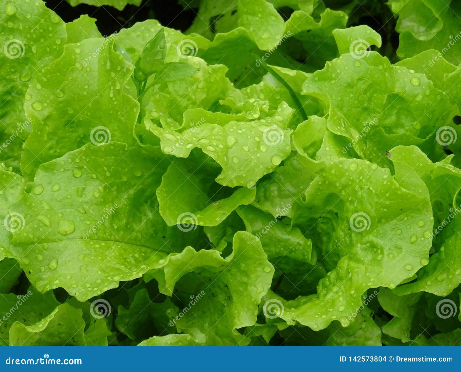 Świeża sałata, prosta od ogródu