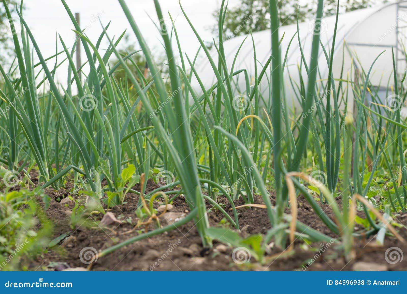 Świeża zielona cebula opuszcza dorośnięcie w ogródzie