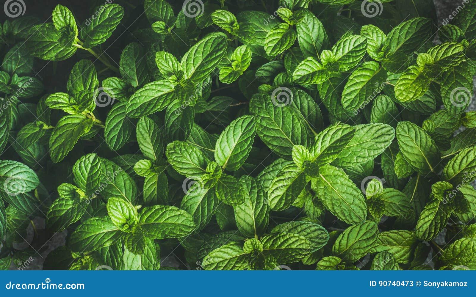 Świeża zielonego pieprzu nowych liści tekstura, tło lub tapeta,