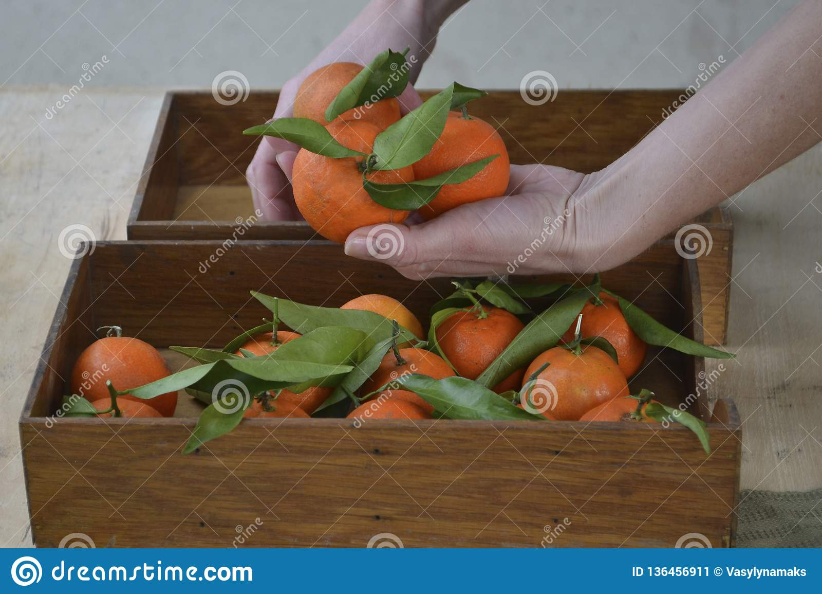 Świeże mandarynek pomarańcze owoc lub tangerines z liśćmi na drewnianym tle Kobieta wręcza trzymać dojrzałe mandarynki, zakończen