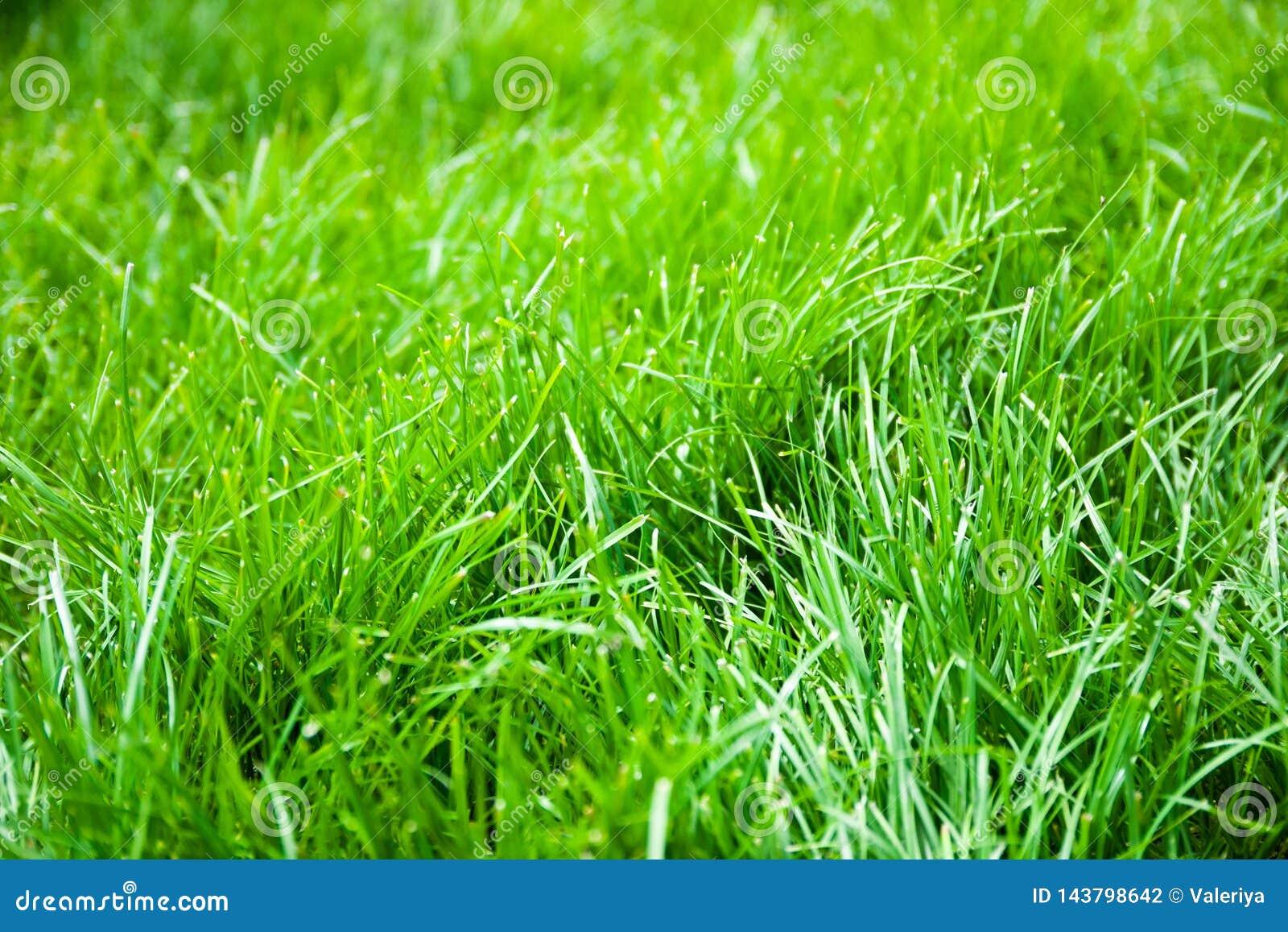 świeże trawa zieleni