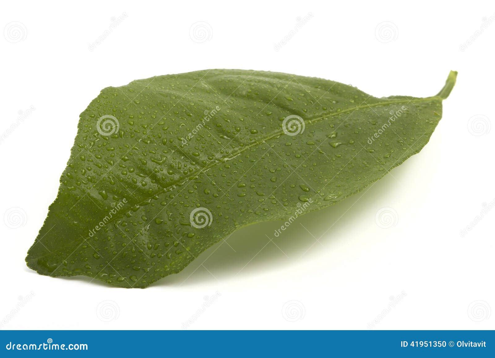 Świeży cytryna liść w kroplach