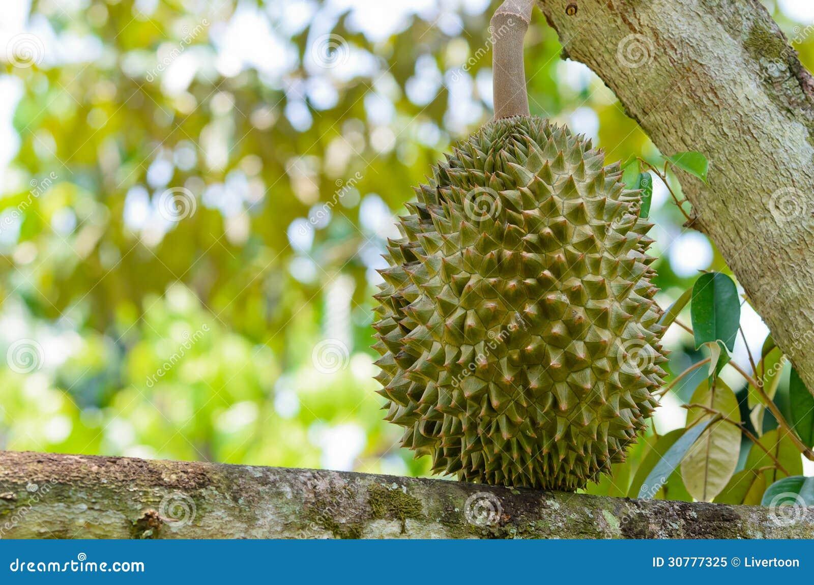Świeży durian na drzewie