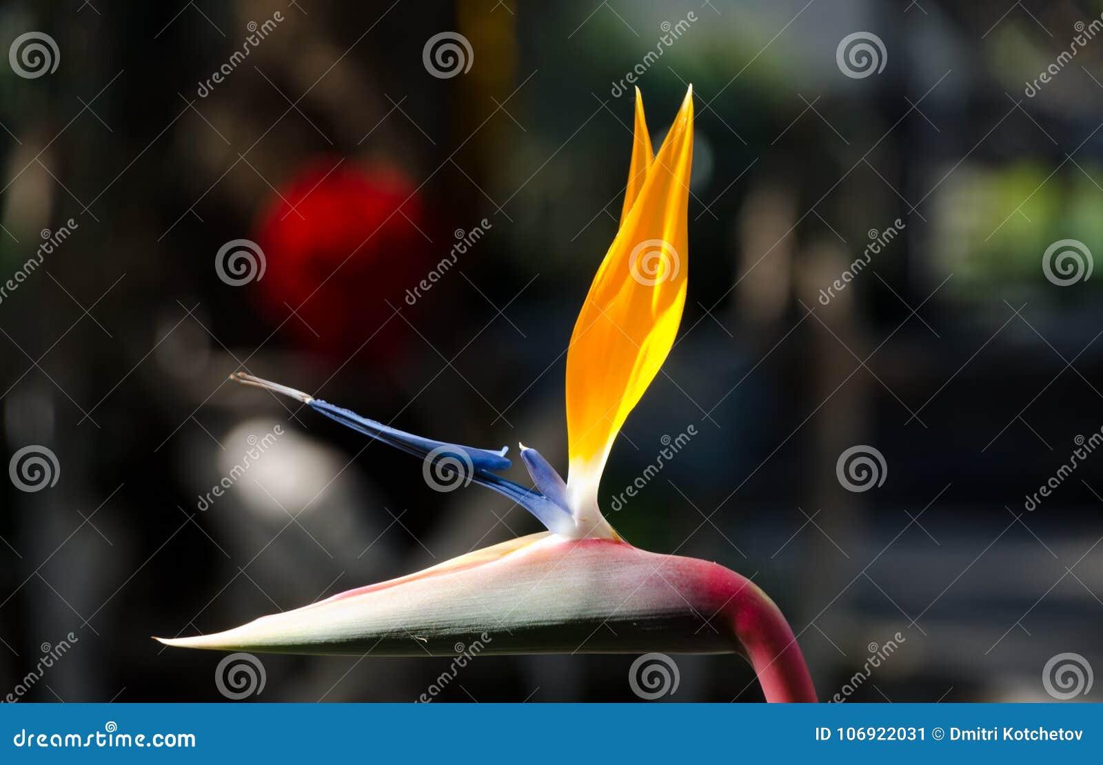 Świeży ptak raju kwiat
