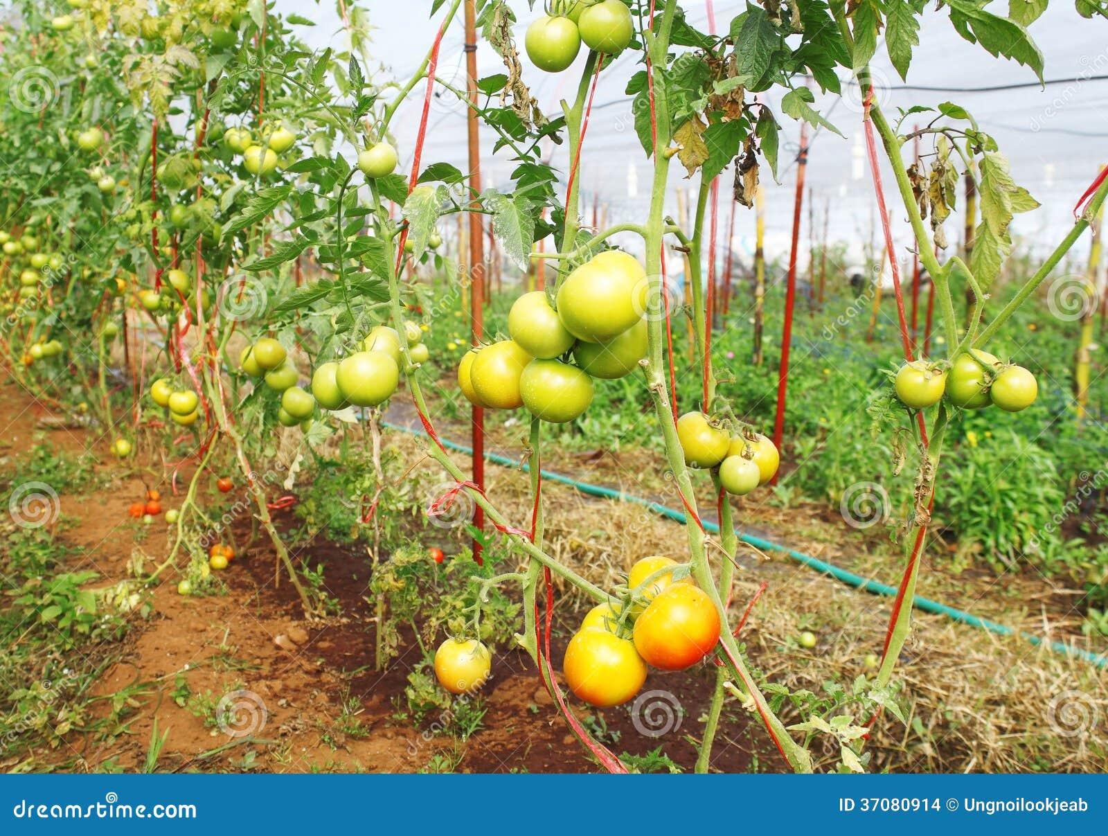 Download Świeżych Potomstw Zieleni Pomidory Zdjęcie Stock - Obraz złożonej z objurgate, krzak: 37080914