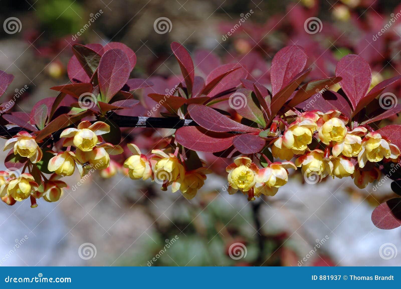 świeci berberis rose thunbergii
