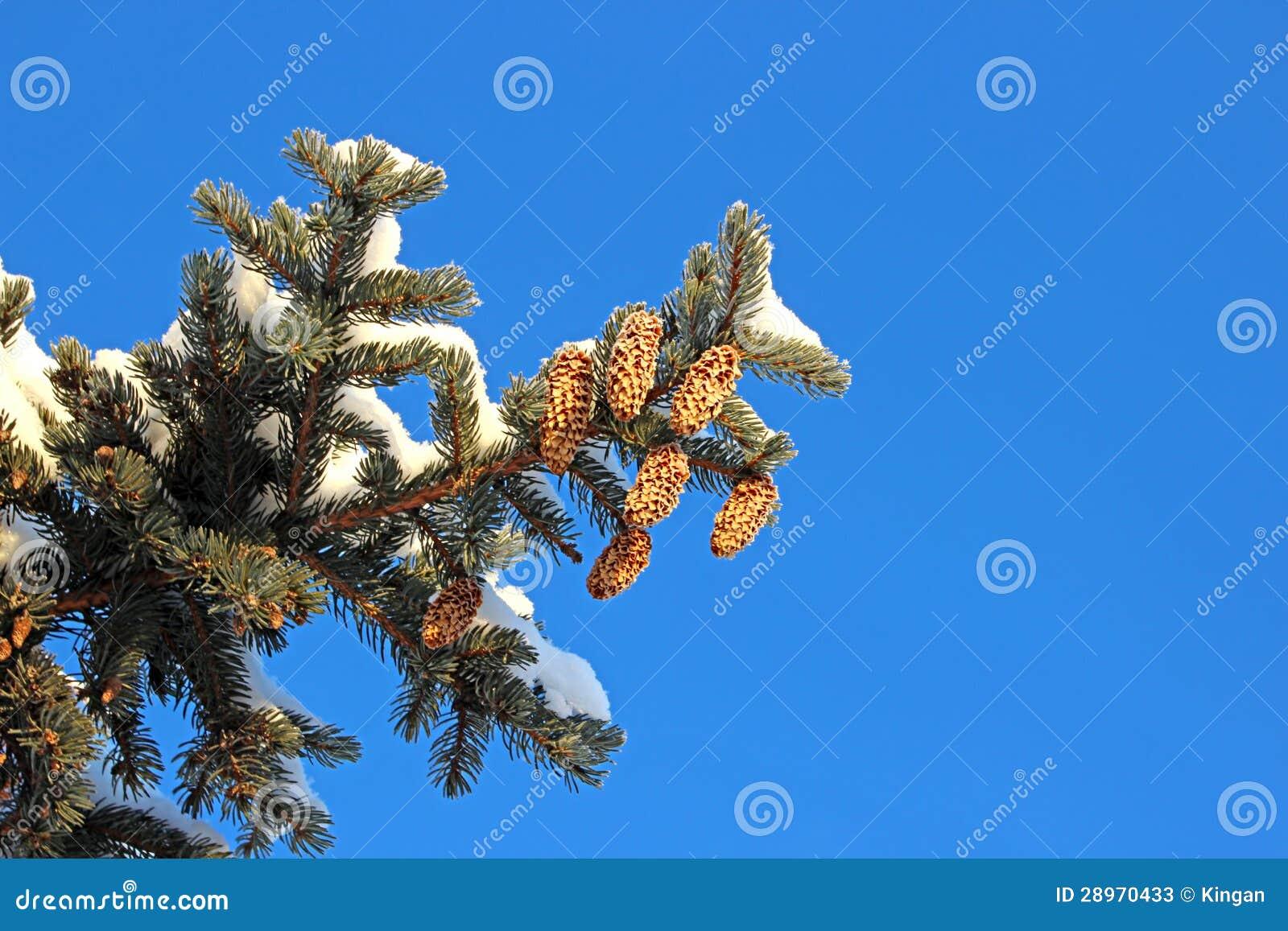 Świerczyna rozgałęzia się z rożkami
