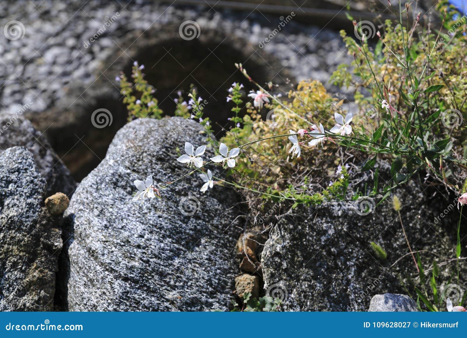 Świetności świeczki Kłębiaści motyle w drylują ogród, w skale