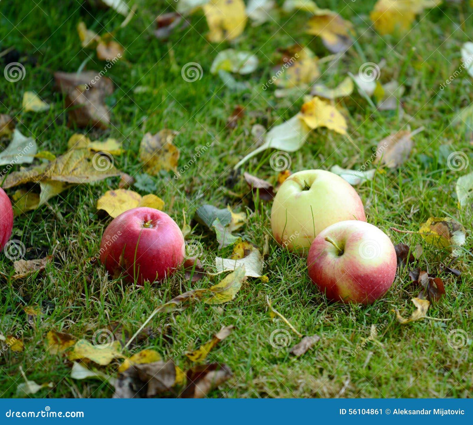 Świezi jabłka na trawie