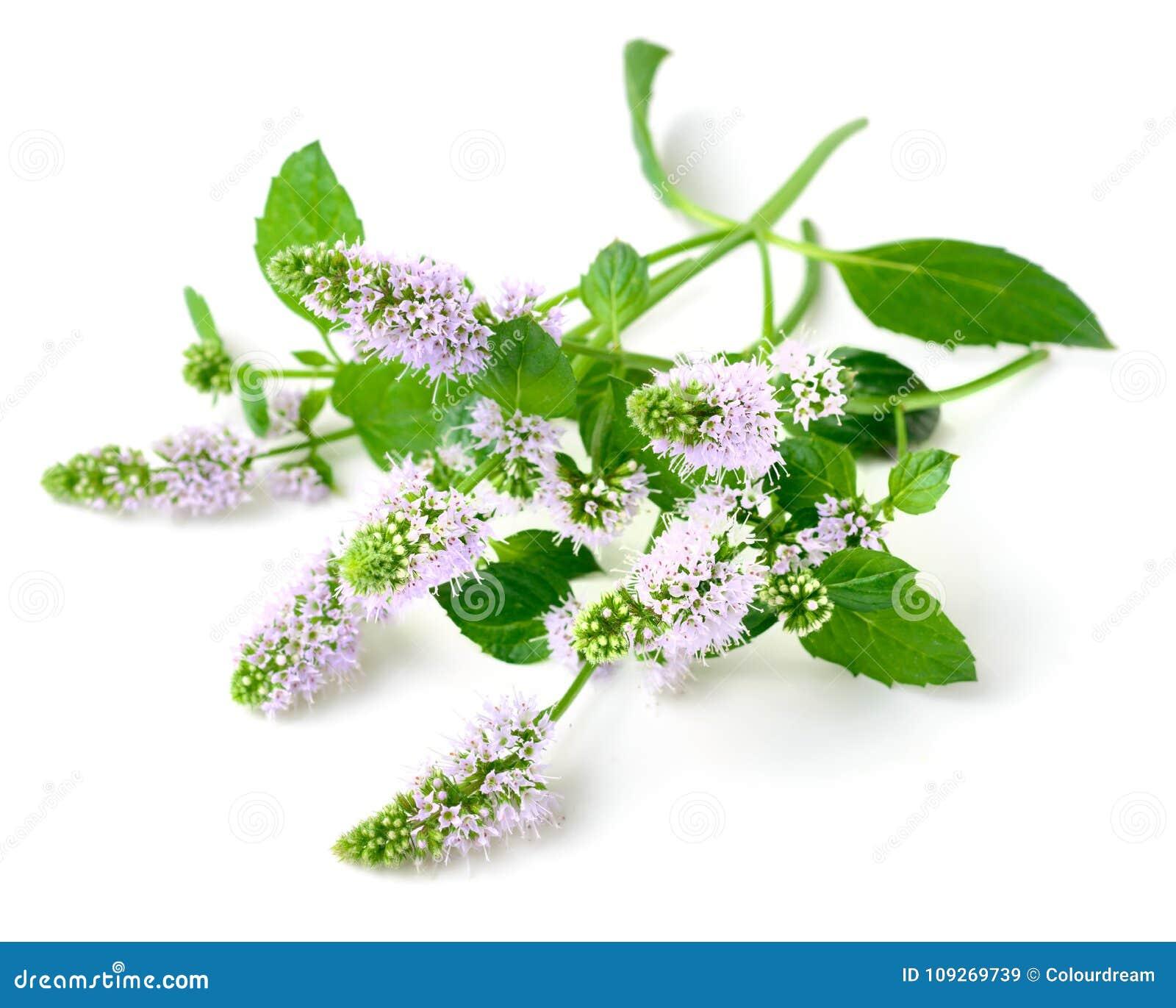 Świezi purpurowi miętówka kwiaty odizolowywający na bielu