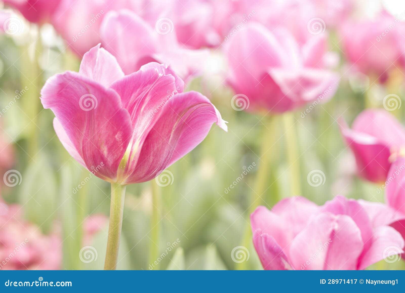 Świezi różowi tulipany