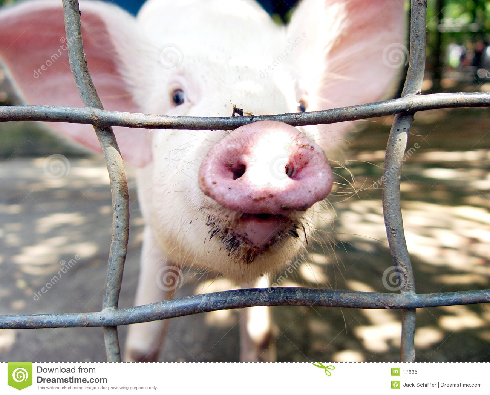 świnia wścibska