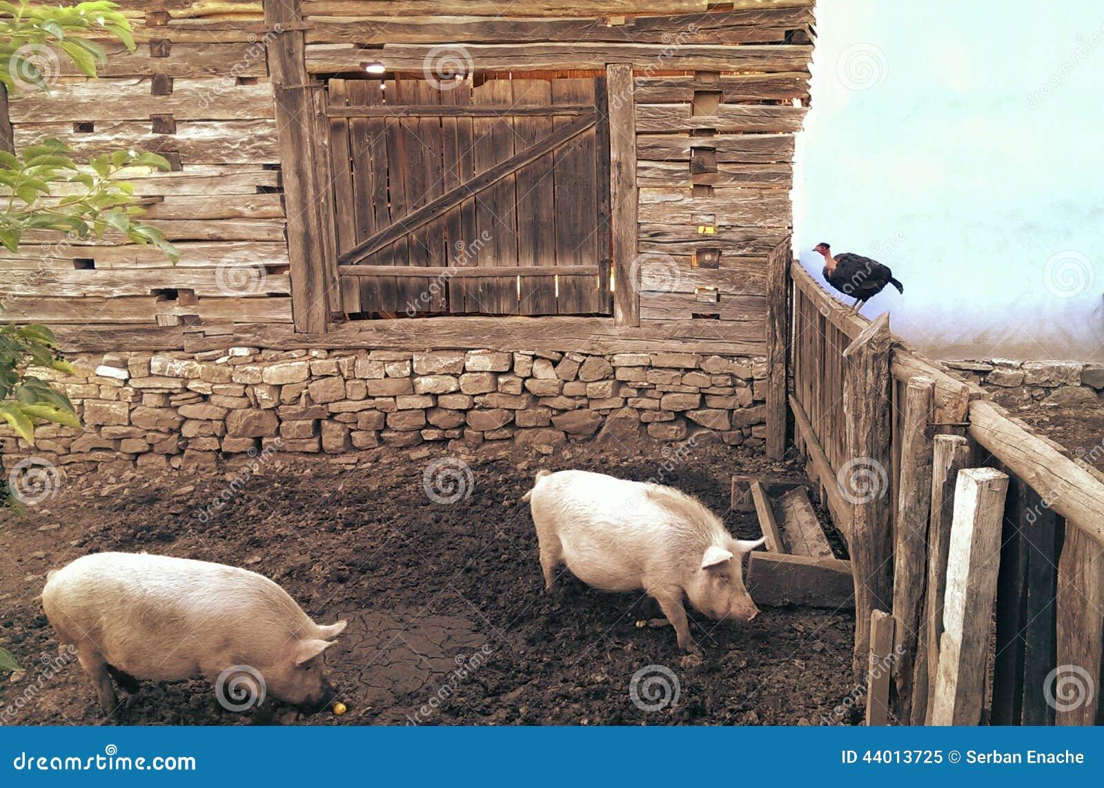 Świnie w sty