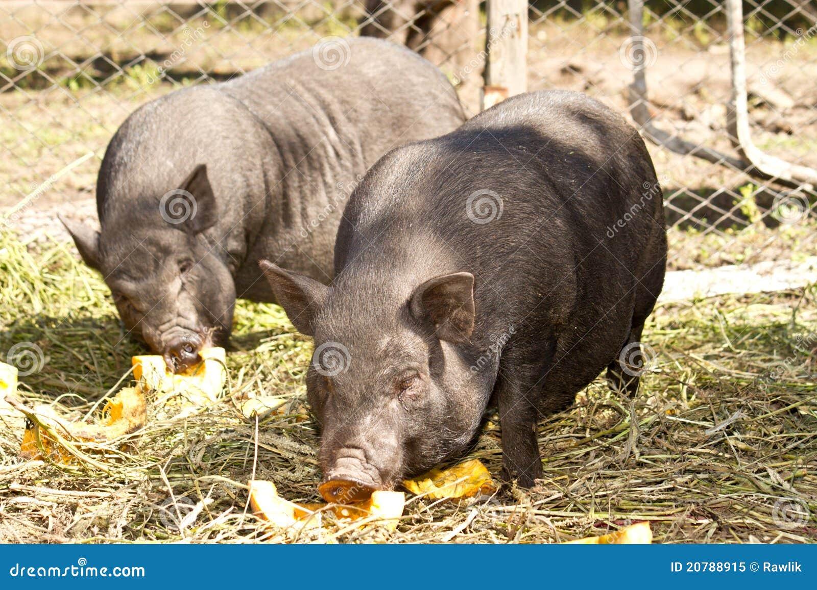 świniowaty wietnamczyk