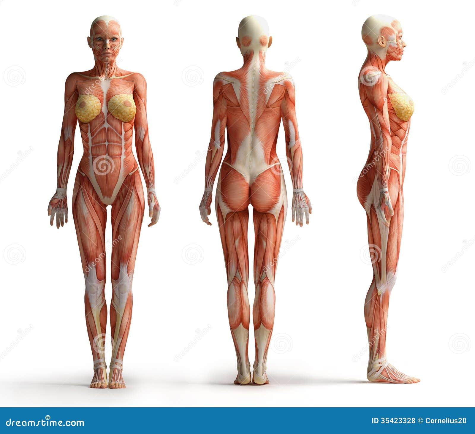 女性解剖学视图