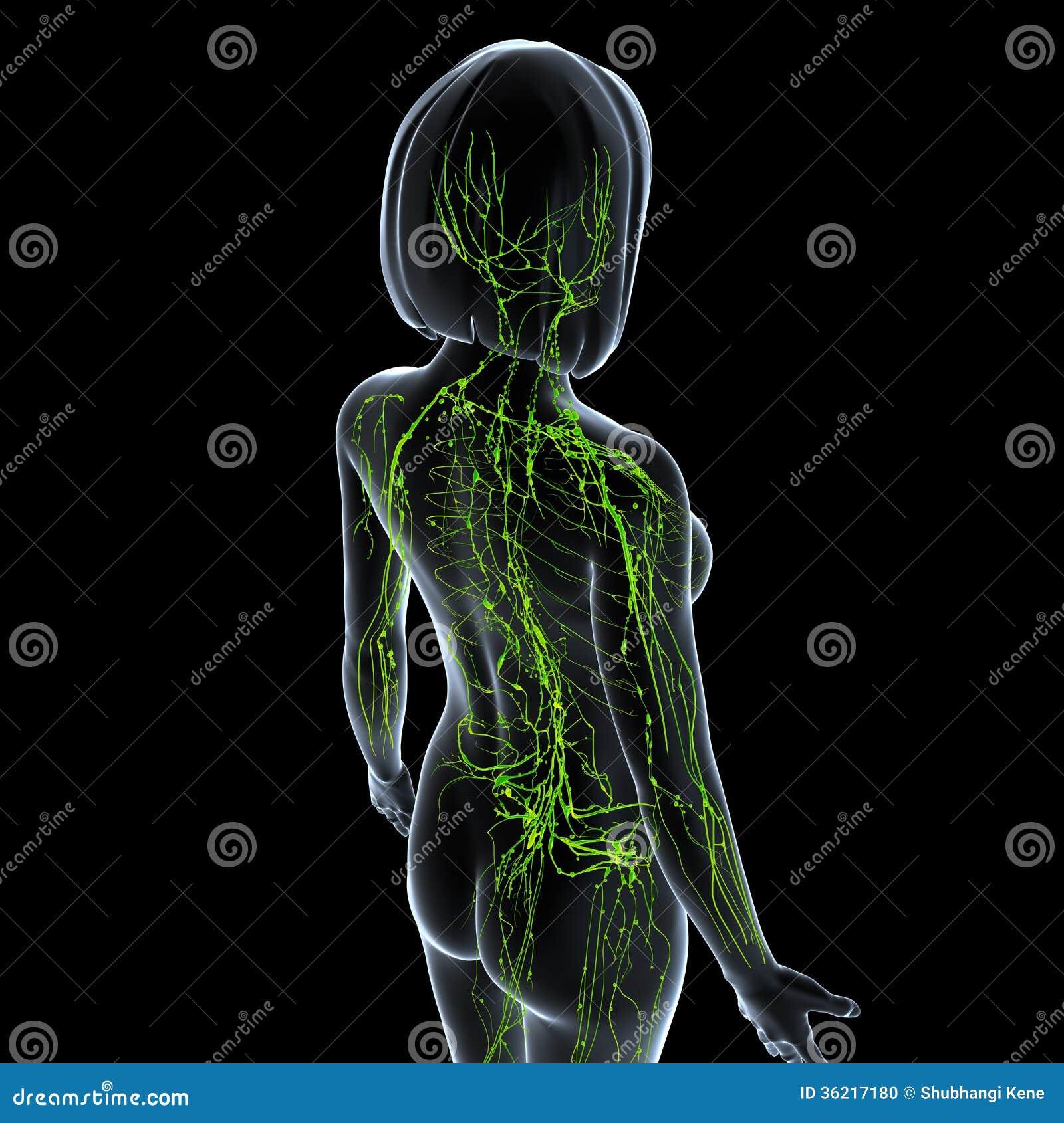 女性淋巴系统 库存照片