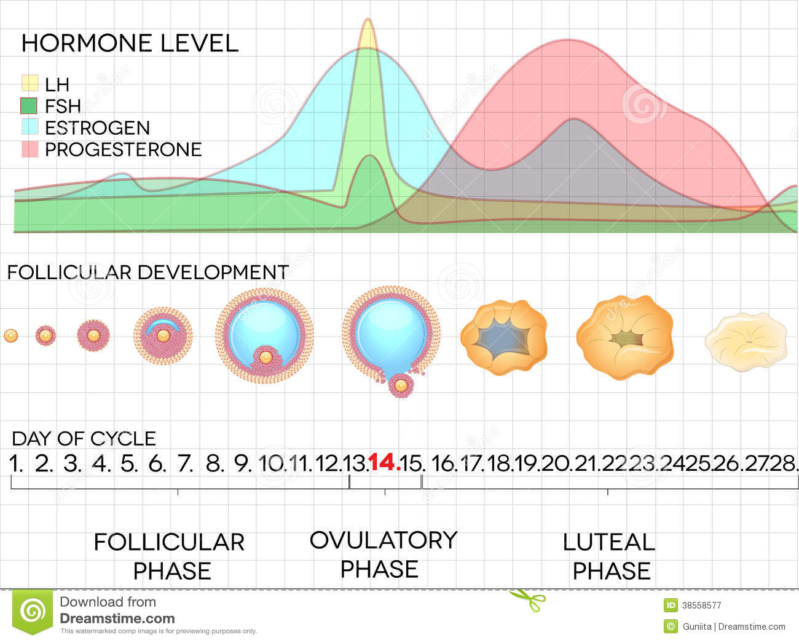 女性月经周期 排卵过程和激素水平