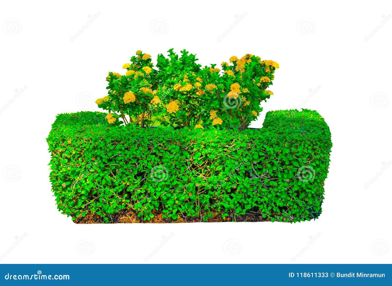 Żółci Ixora lub kolca kwiaty przy środkiem kwadrat kształtujący zielonego żywopłotu rżnięty drzewo odizolowywający na białym tle