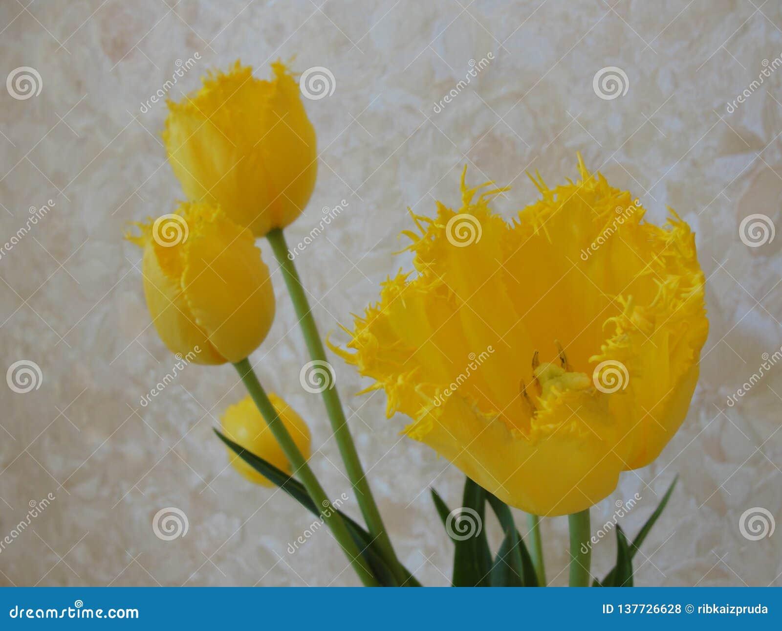 Żółci tulipany kwitną na żółtym pastelowym tle