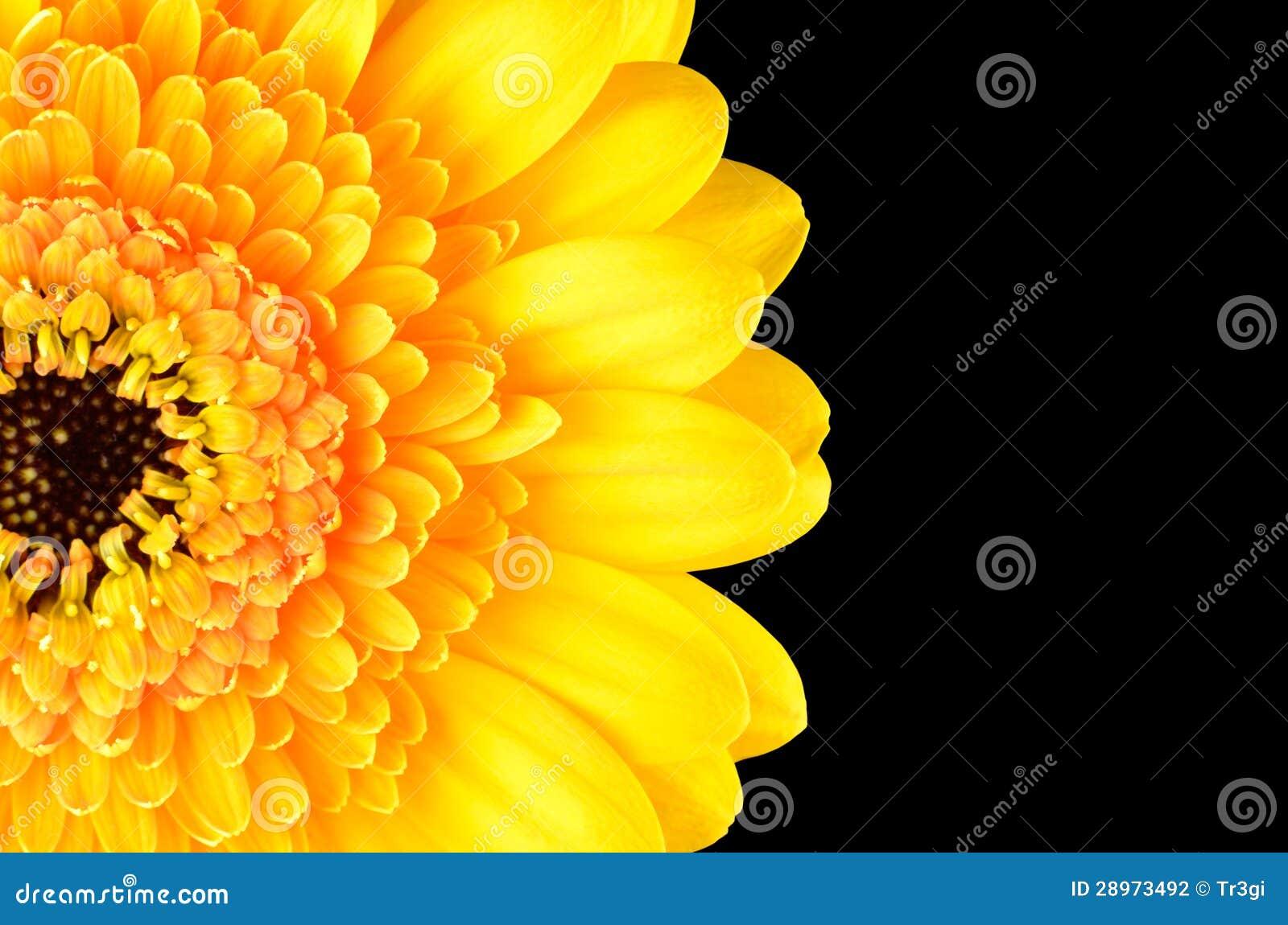 Żółta Gerber nagietka kwiatu część Odizolowywająca na czerni
