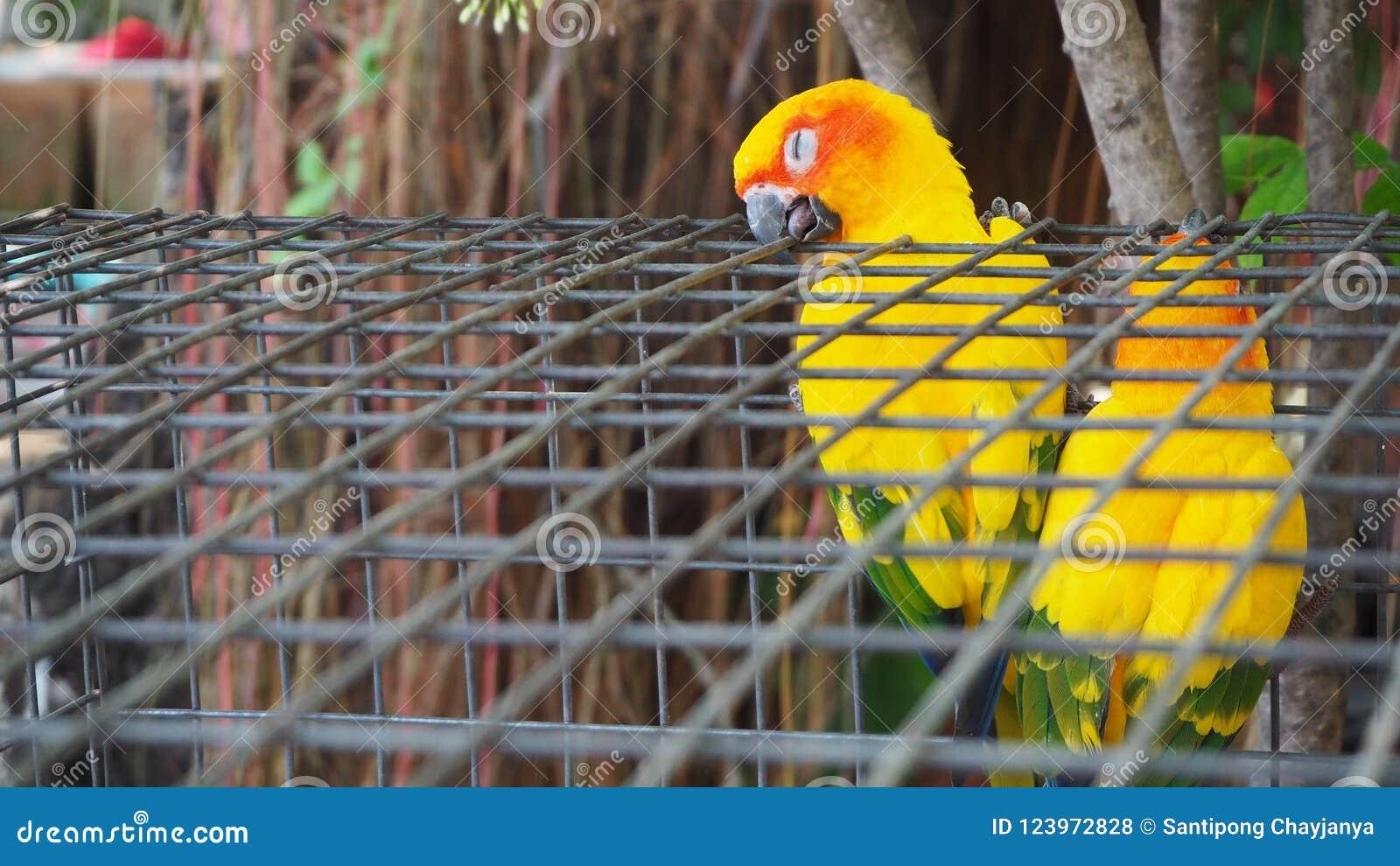 Żółta i pomarańczowa papuga w klatce przy jawnym parkiem Jandaya Parakeet