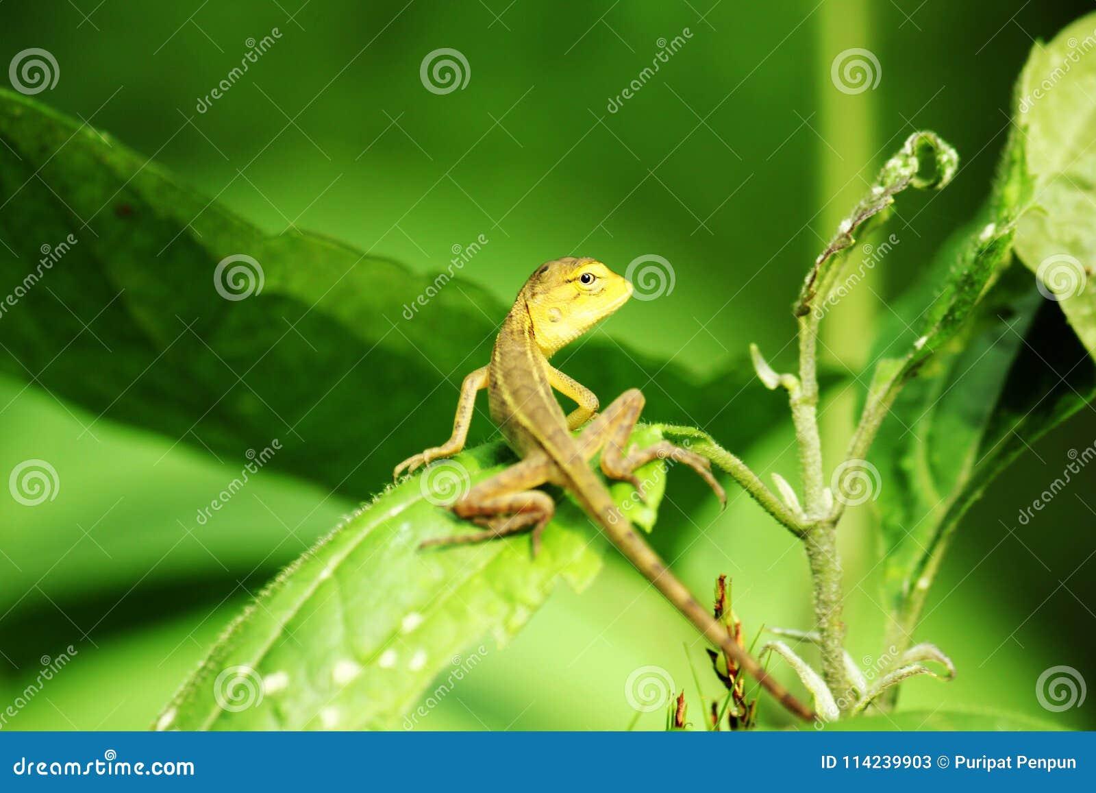 Żółta jaszczurka na liści zwrotach wyprostowywa