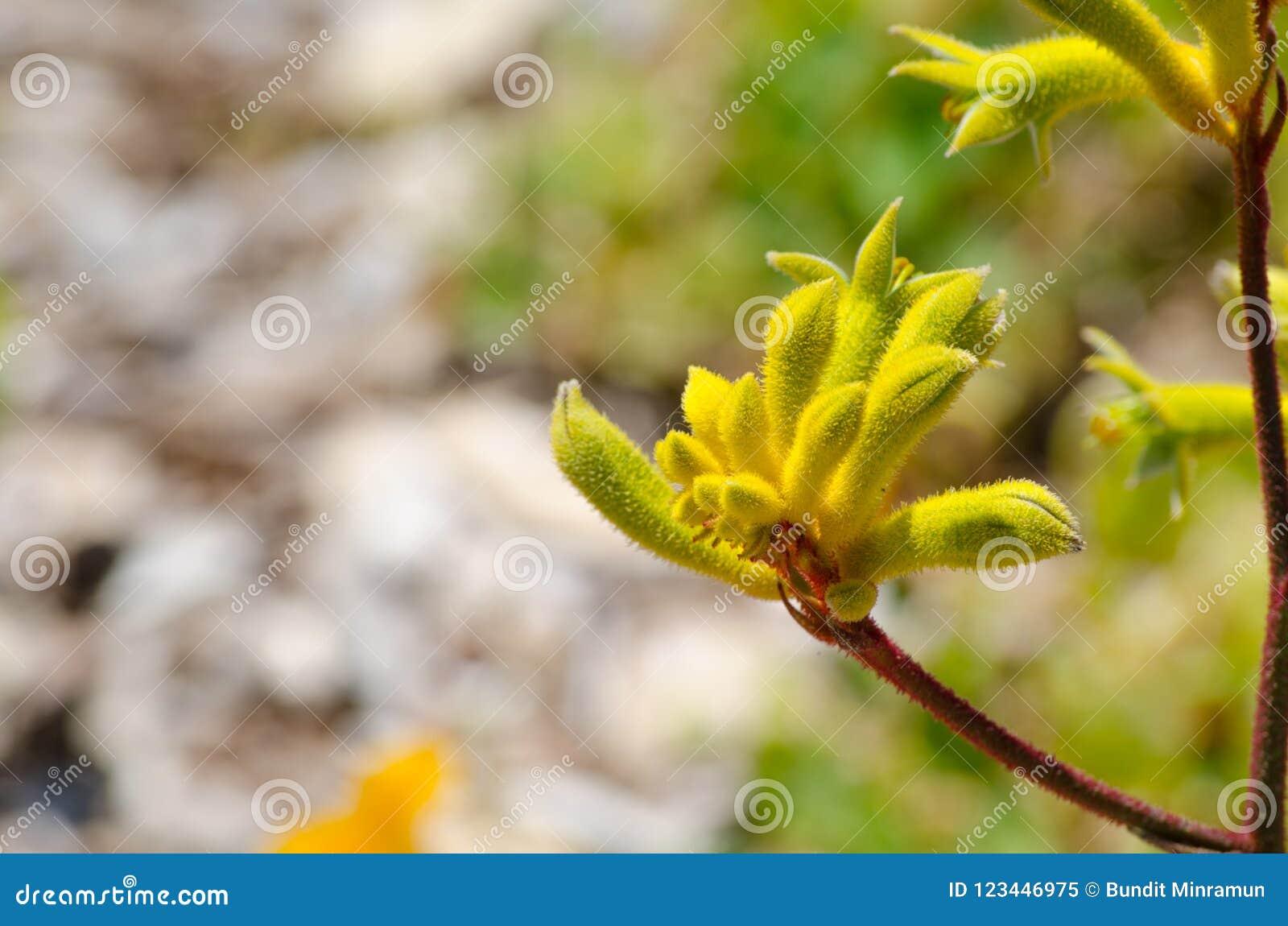 Żółta kangur łapa Kwitnie w wiosna sezonie przy ogródem botanicznym