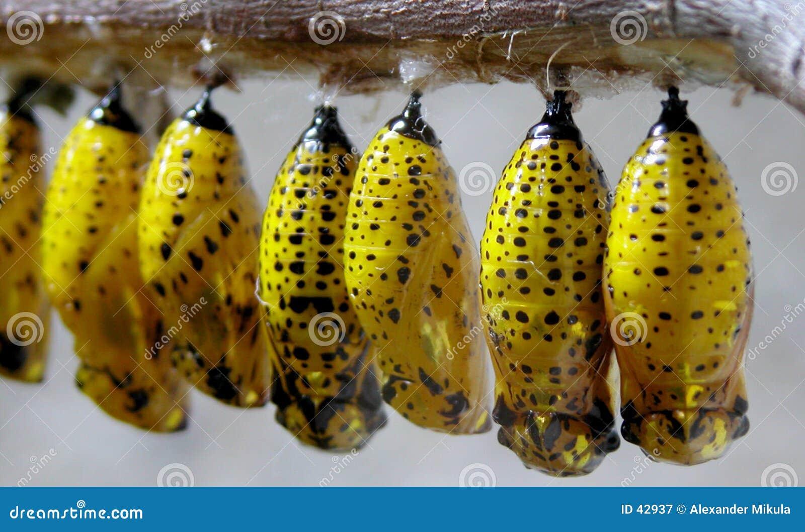 żółte larw