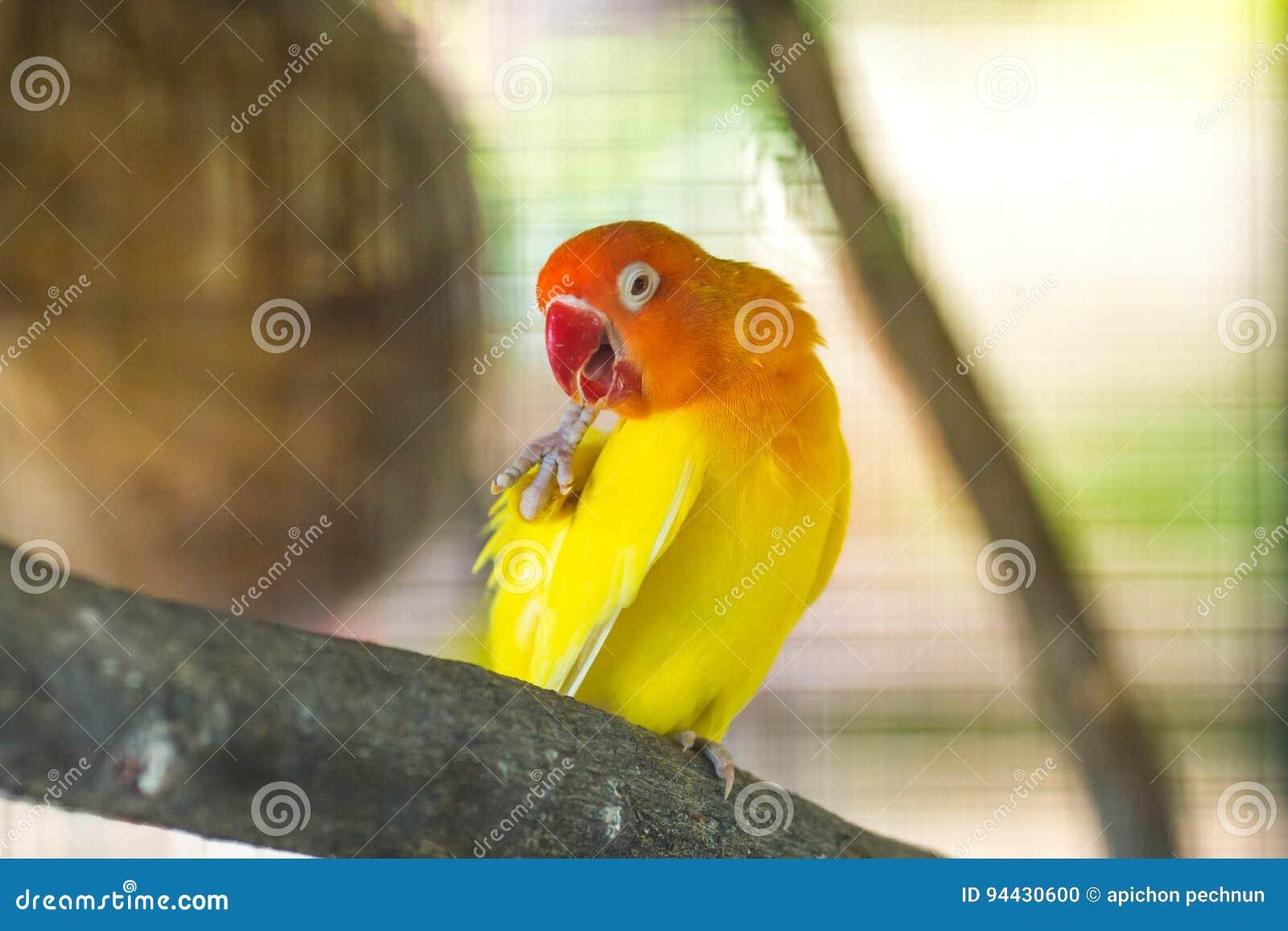 żółte Lovebird papugi siedzi na gałąź