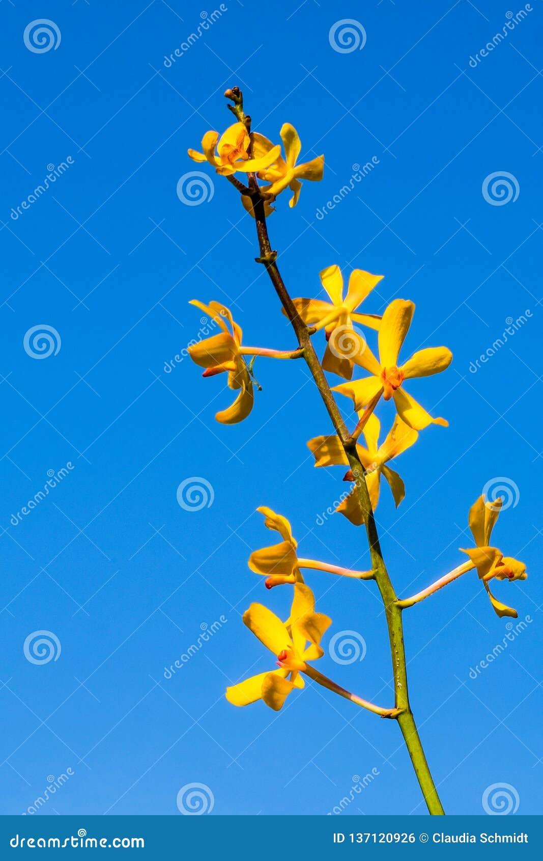 Żółte orchidee przed błękita jasnego niebem
