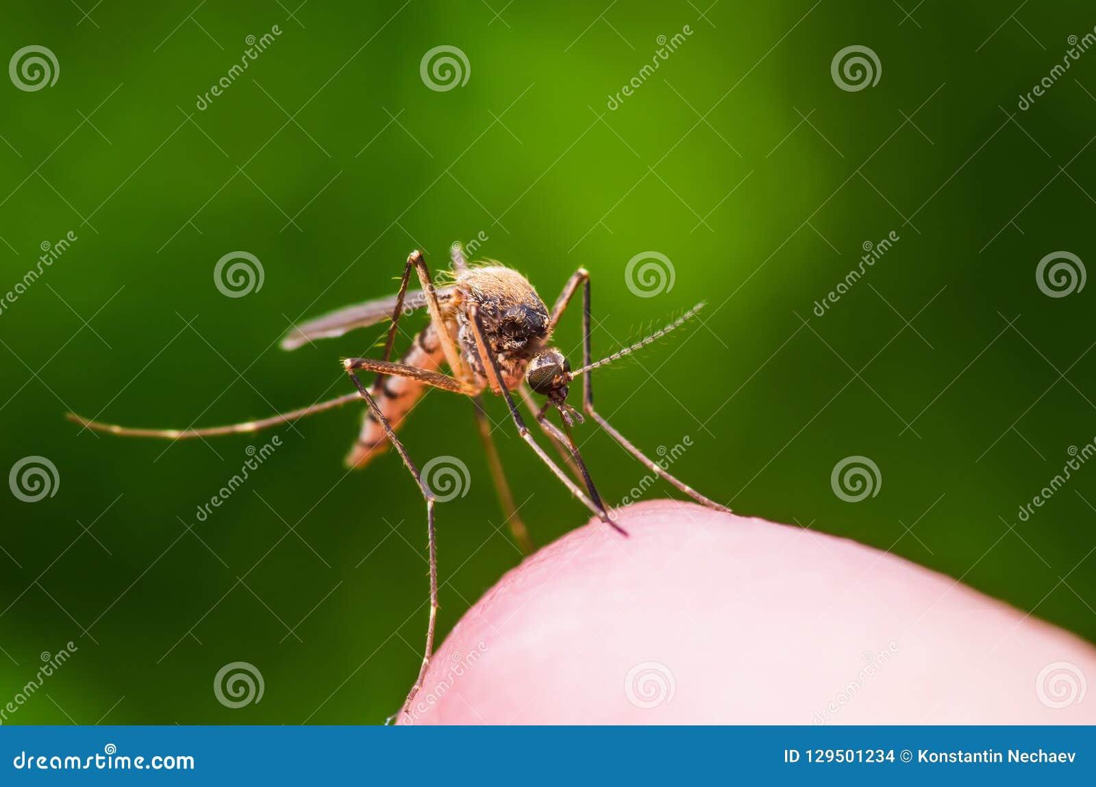 Żółtej febry, malarii lub Zika komara wirus Infekujący insekt Makro- na Zielonym tle,