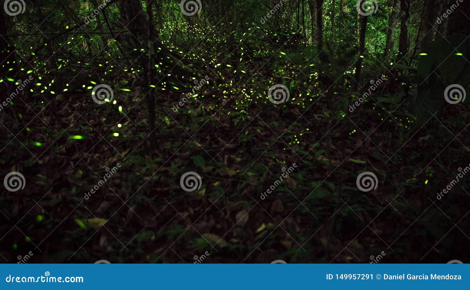 Żółty światło świetlika insekta latanie w noc lesie, tło Tajwan
