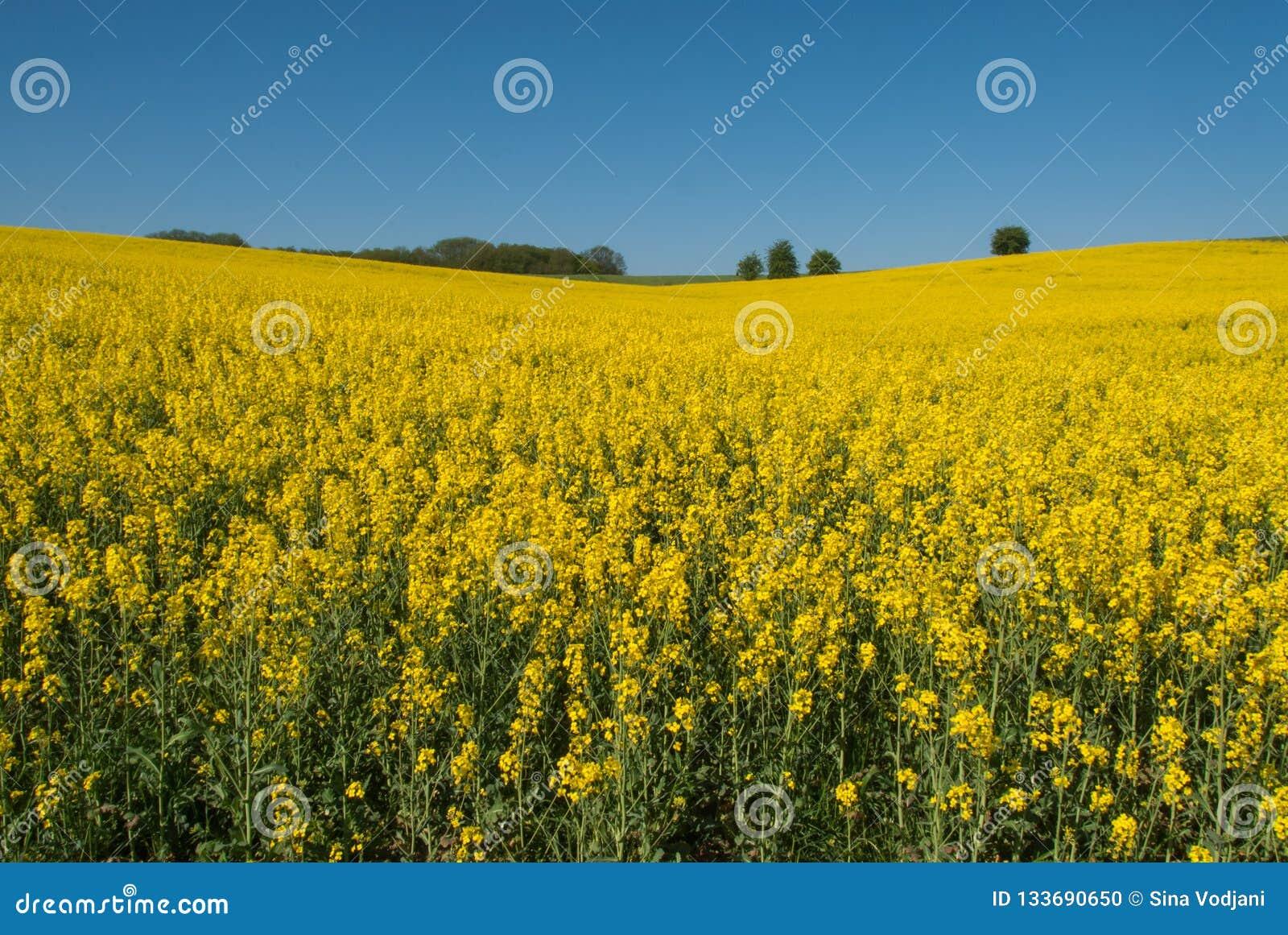 Żółty canola pole, niebieskie niebo i