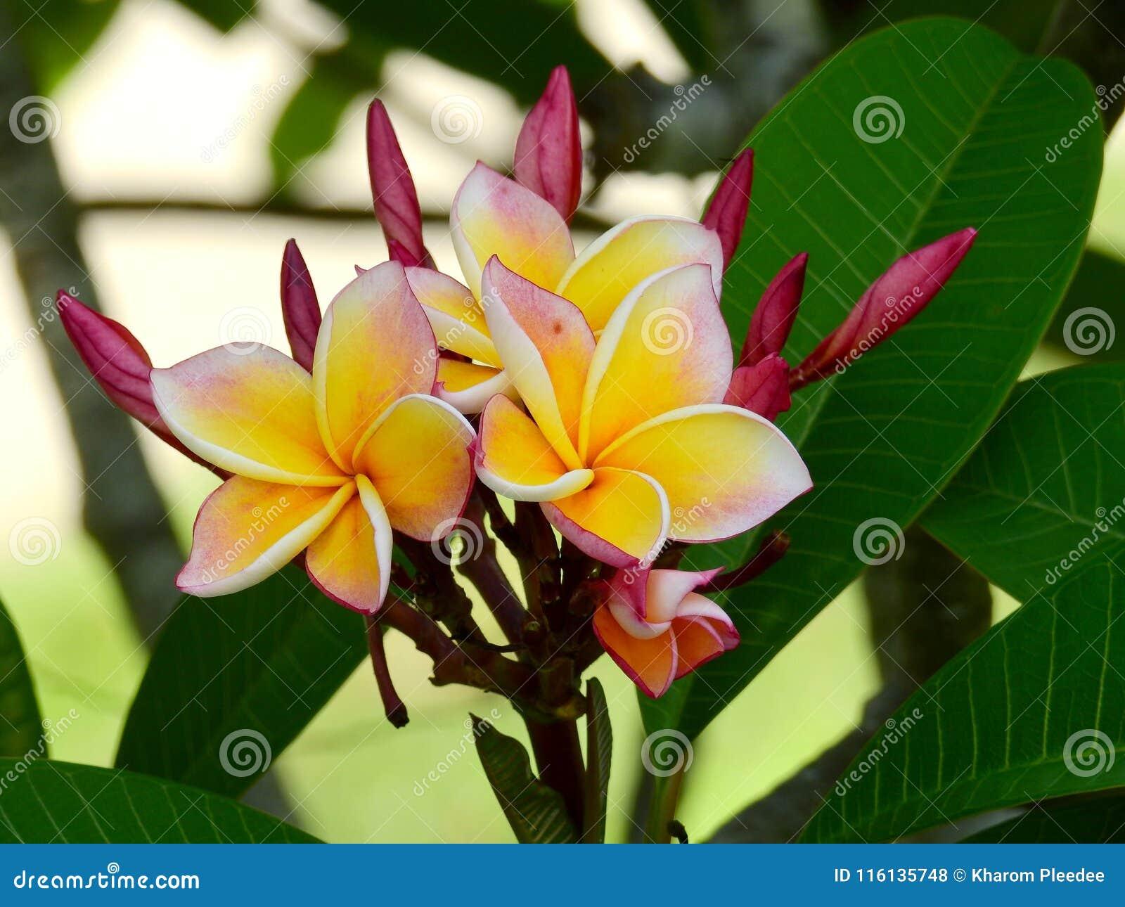 Żółty Champa kwitnie