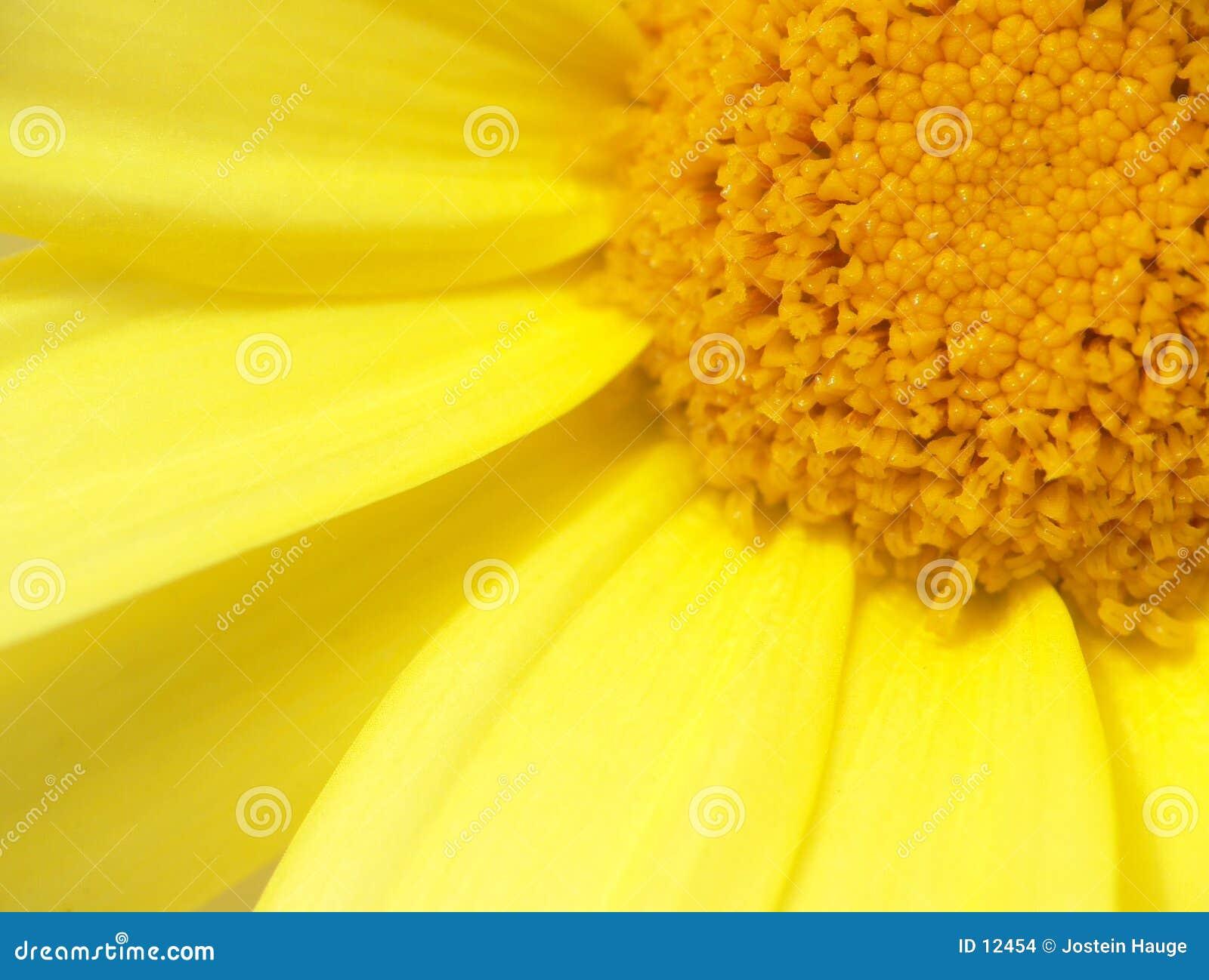 Żółty chryzantema