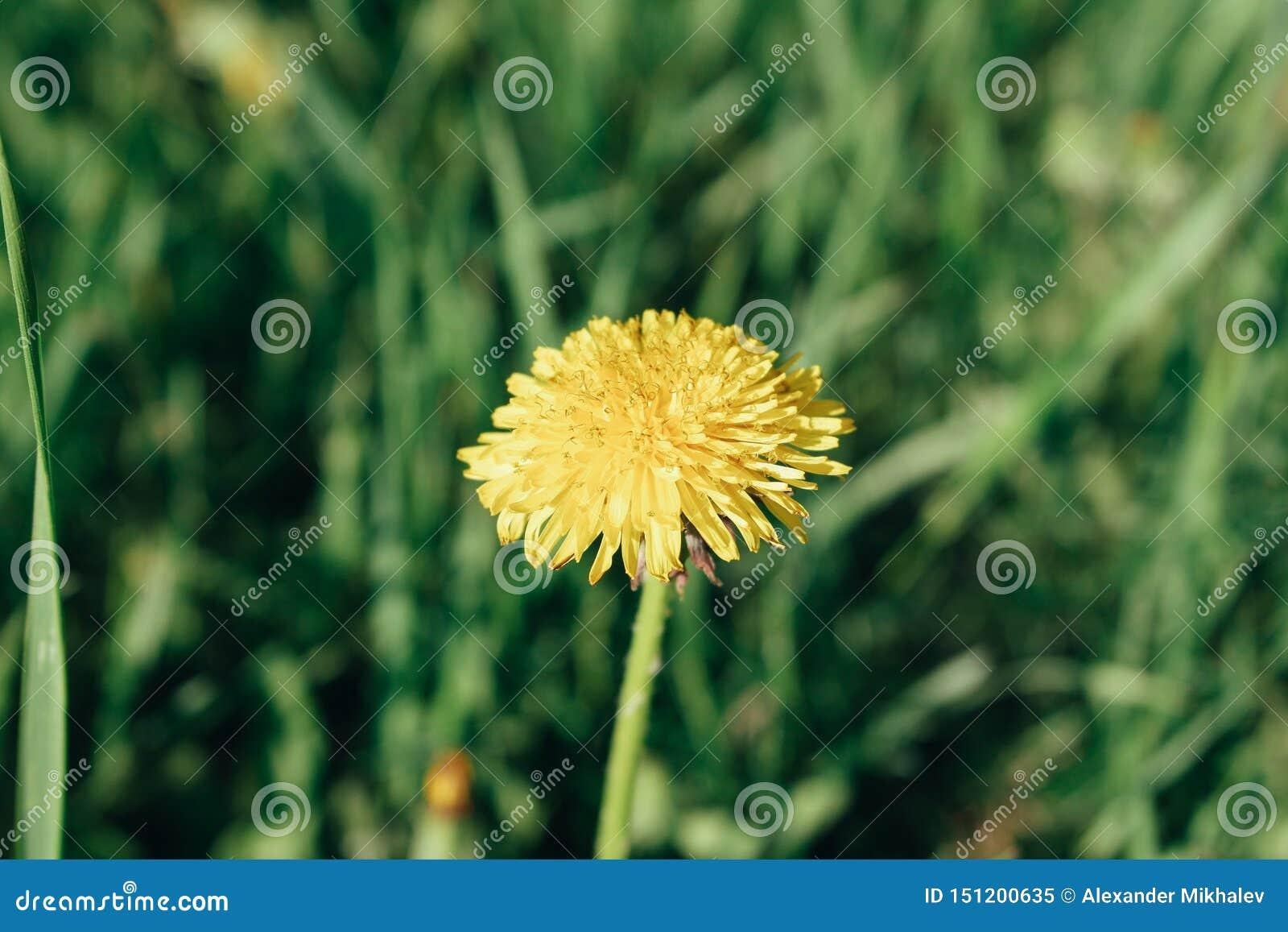 Żółty dandelion wśród gęstej trawy